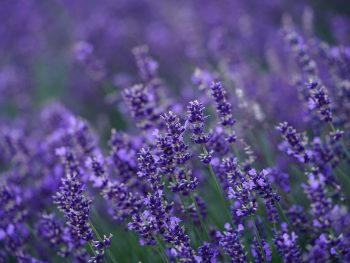 Lavender for stress and insomnia